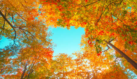 Autumn forest background. Vibrant color tree, red orange foliage in fall park.
