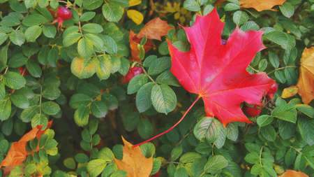 Yellow, orange and red leaves on a green bush rose hips in beautiful fall park.