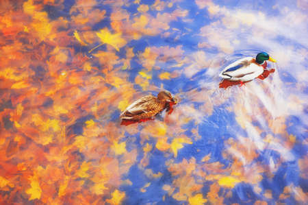 Two mallard ducks on a water in dark pond with floating autumn or fall leaves, top view.