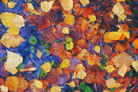 Colorful fall leaves in pond lake water, floating autumn leaf.