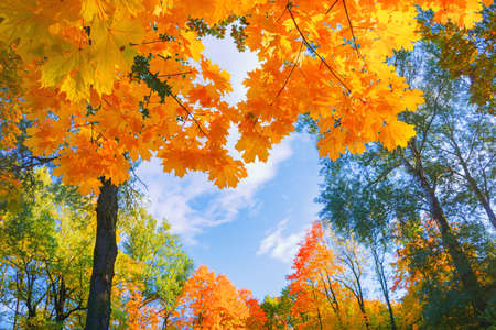 Autumn background landscape. Yellow color tree, red orange foliage in fall forest.
