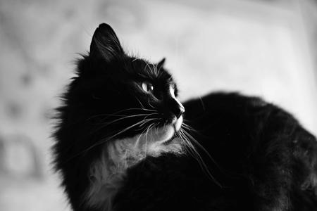 black: Black and white cat