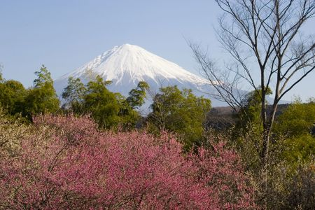 Mount Fuji with red plum blossoms in the foreground