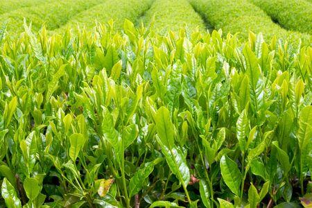 Fresh new green tea leaves before the harvest Stock Photo