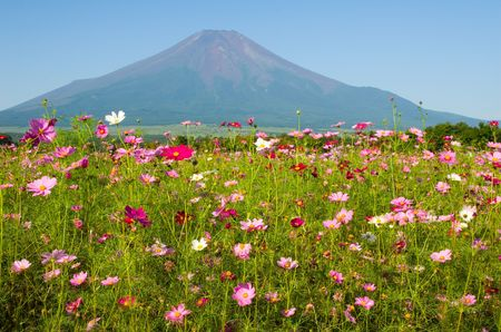 A field of cosmos with Mount Fuji in the background. Stock Photo