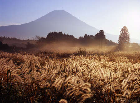 Mount Fuji in Fall with foxtail grass in the foreground