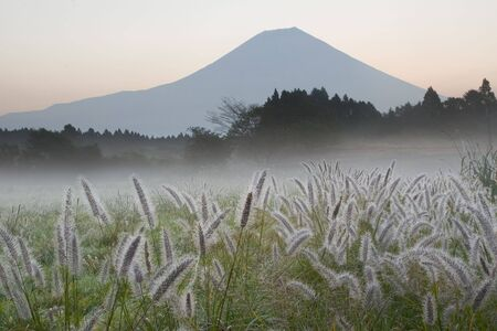 A misty morning with Foxtail Grass and Mount Fuji