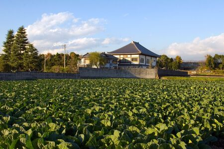 cabbage patch: Cabbage patch near a Buddhist temple in rural Japan Stock Photo