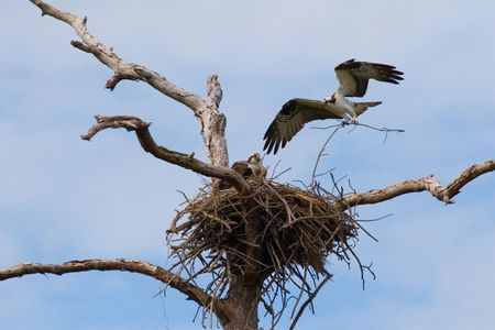 An Osprey in midflight bringing materials for building its nest Stock Photo