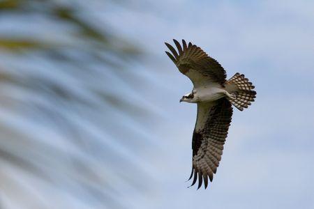An Osprey in flight Stock Photo