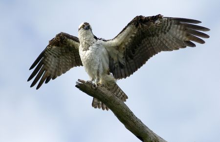 osprey: An Osprey spreading its magnificent wings