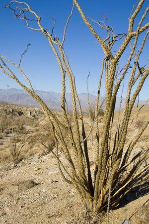 ocotillo: Ocotillo Cactus in the Anza-Borrego desert Stock Photo
