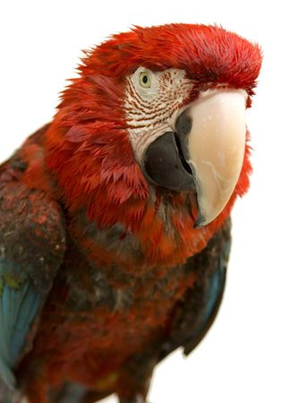 polly: A Scarlet Parrot isolated on a white background