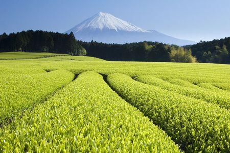Fresh Green tea fields spread out below Mount Fuji photo