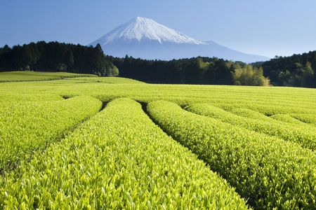 japan sky: Fresh Green tea fields spread out below Mount Fuji