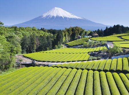 Rows of fresh green tea with Mount Fuji