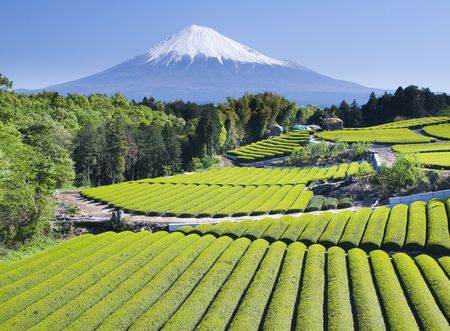 Rows of fresh green tea with Mount Fuji