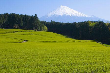 A sea of green tea with Mount Fuji
