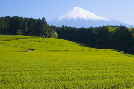 A sea of green tea with Mount Fuji