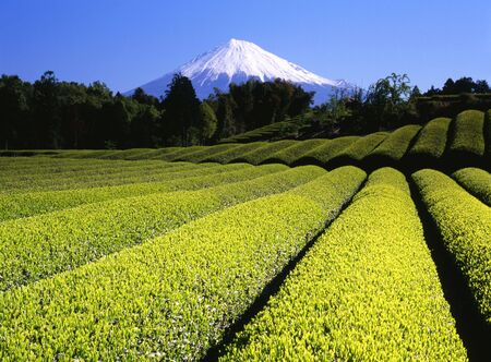 Rows of new green tea in Spring with Mount Fuji