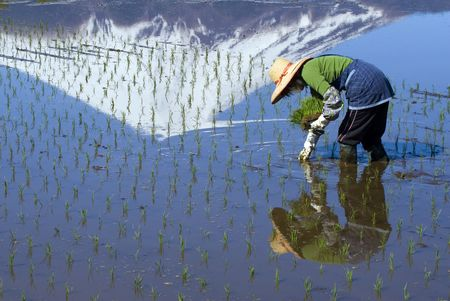 A woman planting rice by hand at the foot of Mount Fuji Stock Photo