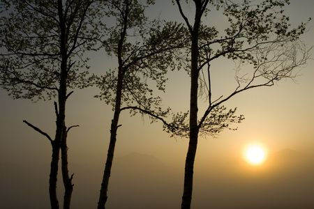 Silhouette of Birch trees with sunrise in Nikko, Japan