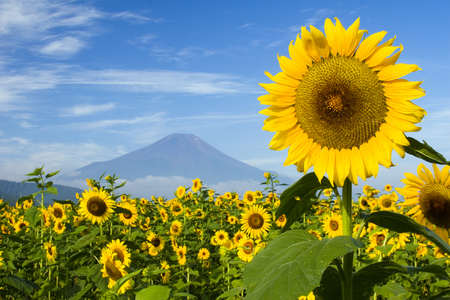 A field of sunflowers with Mount Fuji in the background photo