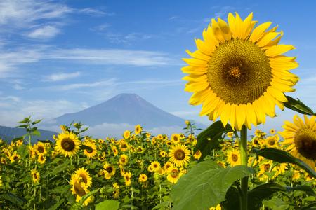 zonnebloem: Een veld van zonnebloemen met Mount Fuji op de achtergrond