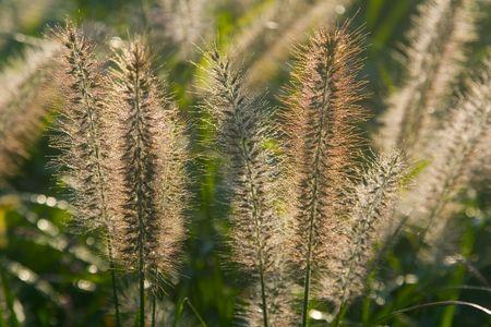 bristle: A meadow of Bristle Grass in Japan