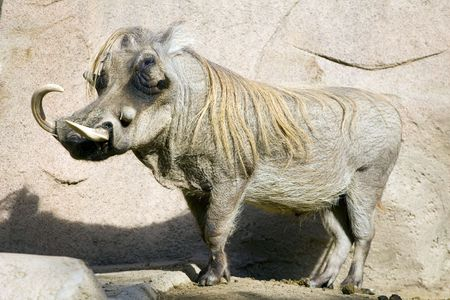 A Warthog in the San Diego Zoo