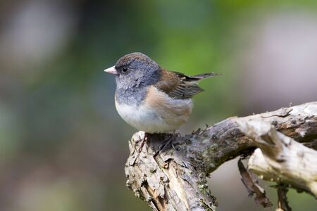 Close up of a female Dark-eyed Junco perching on a branch. Stock Photo