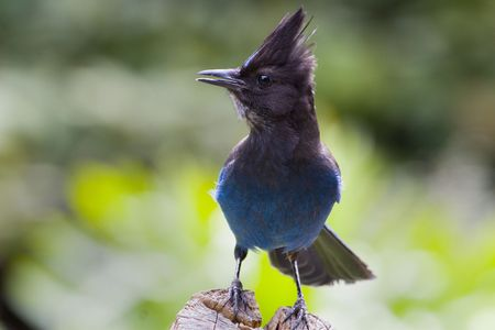 A cocky looking Stellars Jay perched on a log Stock Photo