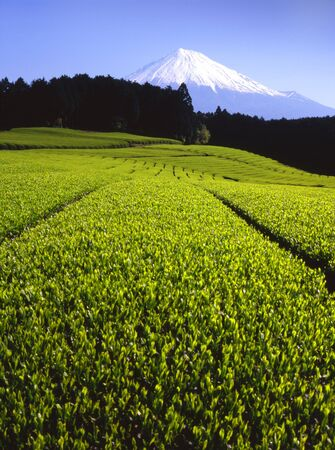 Lush green tea fields with Mount Fuji