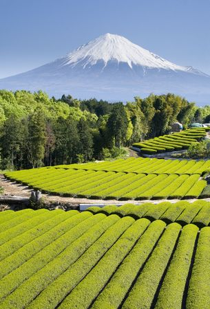 mt: Rows of fresh green tea with Mt. Fuji