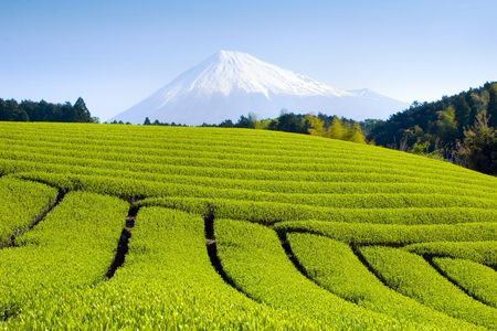 Rows of fresh green tea with Mt. Fuji