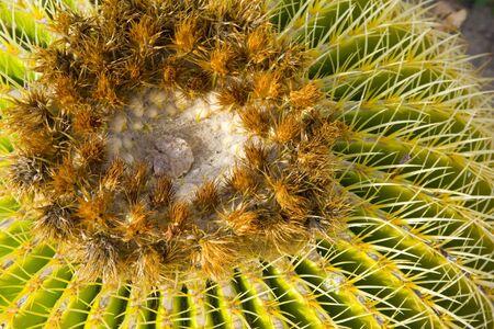 A closeup of a Barrel Cactus in the Southern California desert Stock Photo - 4264910