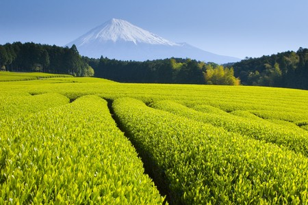 Green tea fields spread out below Mt. Fuji