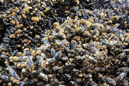 Masses of mussels on a rock exposed during low tide 免版税图像