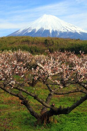 Plum tree in full bloom with Mount Fuji in background