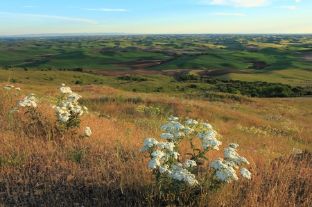 palouse: The beautiful hills of Palouse, Washington with white Wildflowers