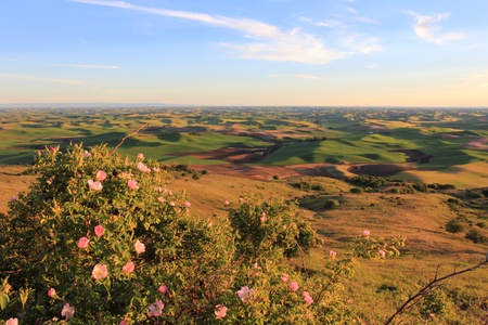 palouse: The beautiful hills of Palouse, Washington with white Wild roses