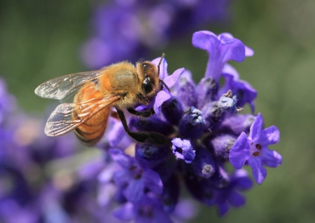 blossom honey: A honey bee gathering pollen on a Lavender flower