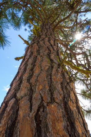 ponderosa: A Ponderosa Pine  Pinus ponderosa  viewed from below with sun