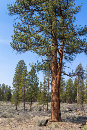 ponderosa pine: A beautiful ponerosa pine (pinus ponderosa) in Central Oregon