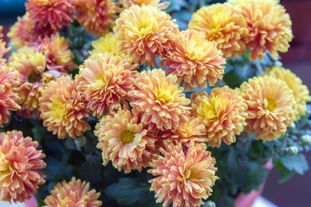 Autumn flowers-blooming yellow garden mums-Chrysanthemum, Background from a bouquet of yellow chrysanthemums. 免版税图像