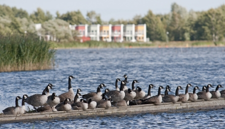 Flock of geese on the shore of a picturesque view  photo