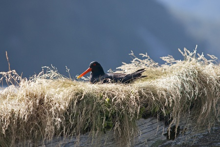 variable: Variable Oyster Catcher in the nest on the beach in New Zealand Stock Photo