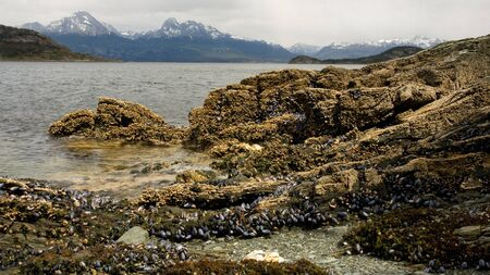 Rocky shore covered with whole mussels and seaweed