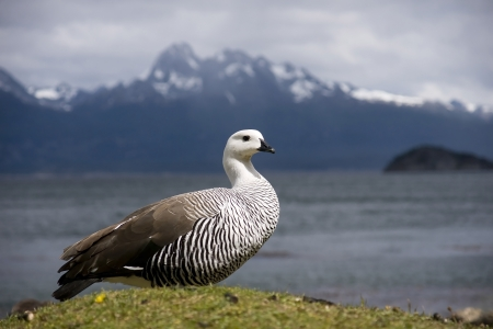 encountered: Wild goose is sometimes encountered at times by the sea