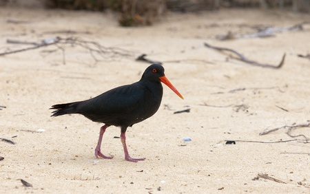 variable: Variable Oyster Catcher, is seen on the beaches of New Zealand Stock Photo